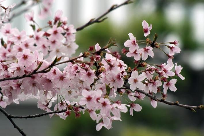 桜前線〈番外編〉〜鎌倉・段葛_c0035838_2323977.jpg