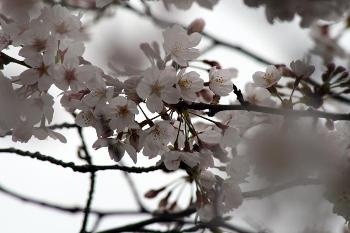 桜前線〈番外編〉〜鎌倉・段葛_c0035838_2331689.jpg