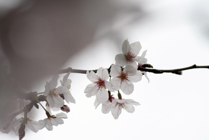 桜前線〈番外編〉〜鎌倉・段葛_c0035838_2333860.jpg