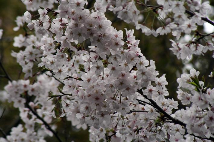 桜前線〈番外編〉〜鎌倉・段葛_c0035838_2345322.jpg