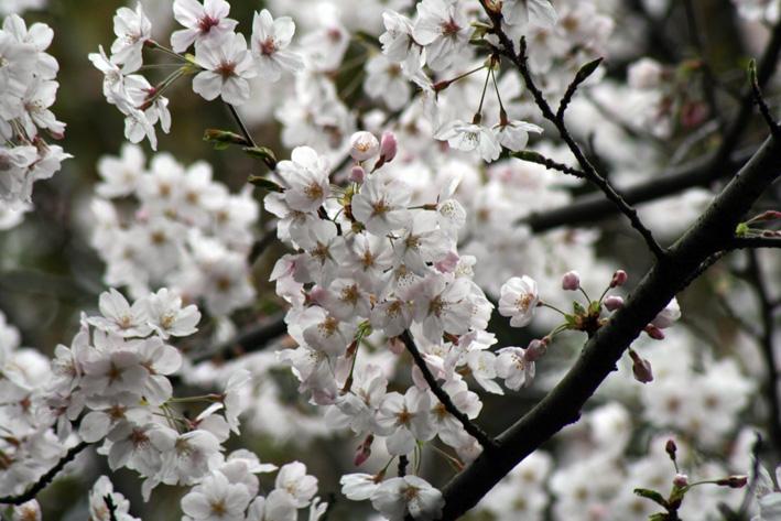 桜前線〈番外編〉〜鎌倉・段葛_c0035838_2351573.jpg