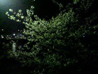 夜桜♪満開…_d0082356_8385535.jpg