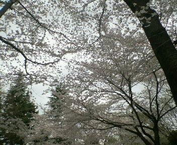 日本国民行事【花見】_b0105458_0211947.jpg
