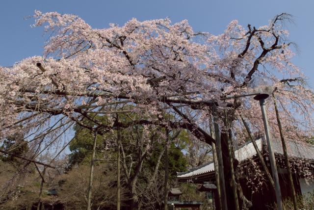 東漸寺のしだれ桜_f0018464_21561129.jpg