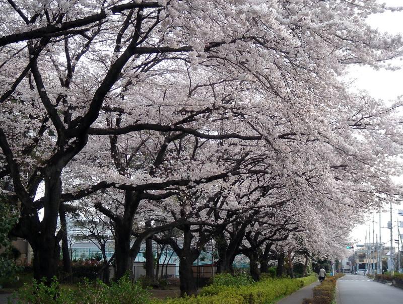 桜_f0059673_9203377.jpg