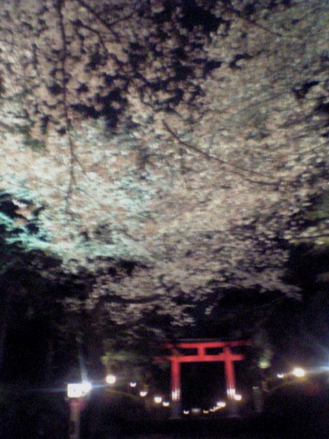 桜...にゃ_b0060102_23391642.jpg