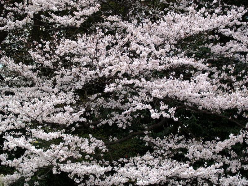 皇居の桜_e0004009_0223817.jpg