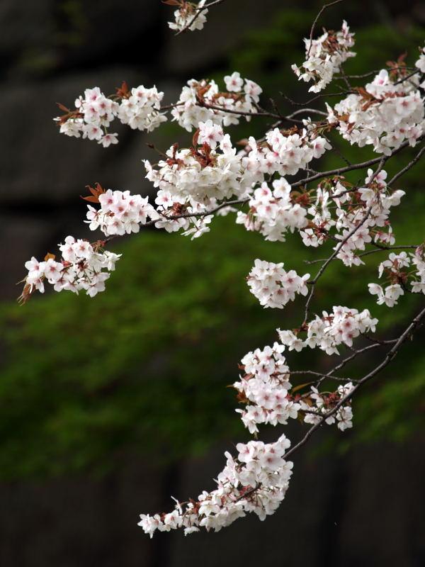 皇居の桜_e0004009_0232024.jpg