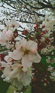 やっと咲きました_d0110911_1110335.jpg