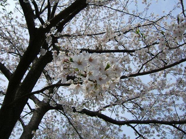 満開の桜_e0089232_21241776.jpg