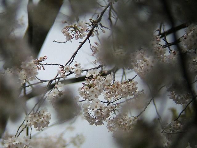 満開の桜_e0089232_21242779.jpg