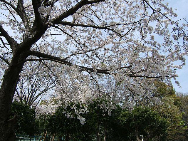 満開の桜_e0089232_2124974.jpg