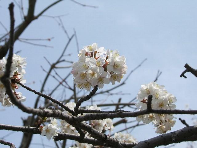 満開の桜_e0089232_2126172.jpg