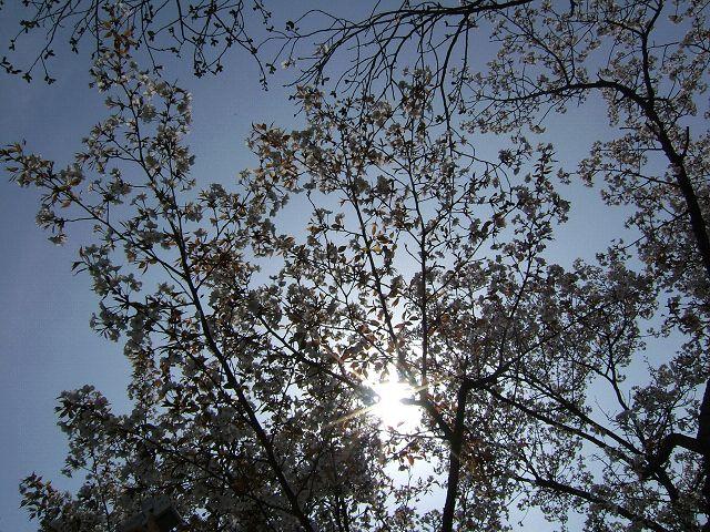 満開の桜_e0089232_21261838.jpg