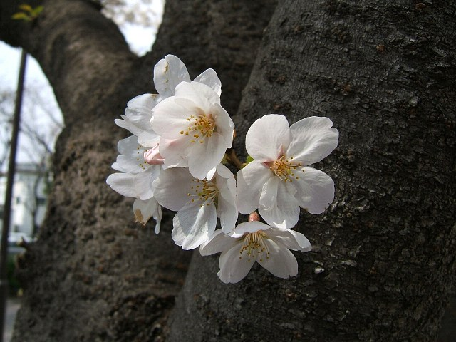 満開の桜_e0089232_21265591.jpg