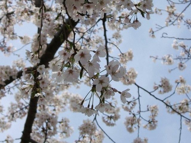 満開の桜_e0089232_2127251.jpg