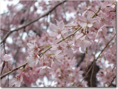 4月2日井の頭の桜