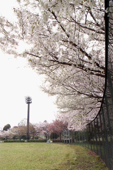 グラウンドの桜_c0031975_1422216.jpg