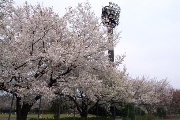 グラウンドの桜_c0031975_1423636.jpg