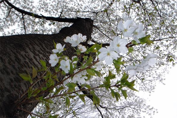 グラウンドの桜_c0031975_142612.jpg