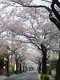 ■ 桜並木_c0100388_14451858.jpg