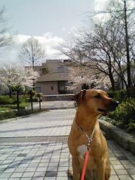 今年も 桜が咲いた!_d0092605_174212.jpg