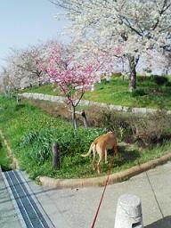 今年も 桜が咲いた!_d0092605_1754013.jpg