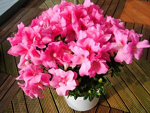 濃いピンク色の花がびっしり咲いている鉢。華やかな色合いです。