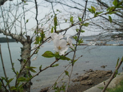 桜とマリーナ_a0077071_18325415.jpg