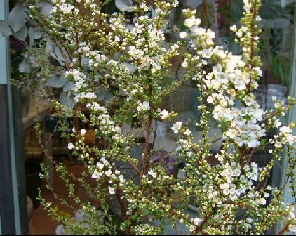 オークリーフ(白い花)_f0049672_13211052.jpg