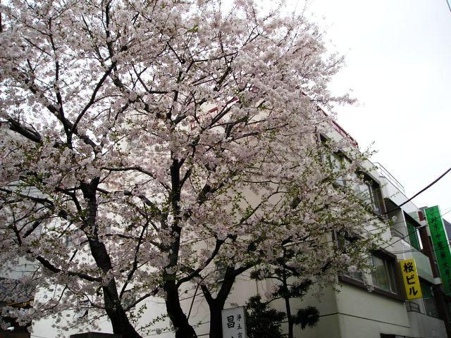 桜咲く_f0138875_9145574.jpg