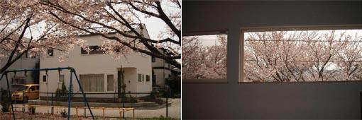 桜の便り_b0061387_0294086.jpg