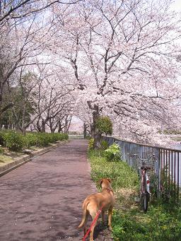 今年も 桜が咲いた!_d0092605_13563951.jpg