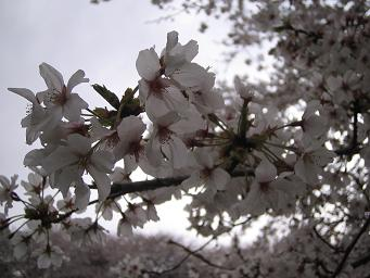 今年も 桜が咲いた!_d0092605_1414163.jpg