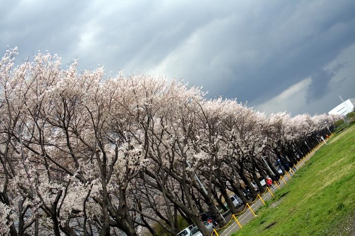 Cherry blossom_e0061613_2130286.jpg