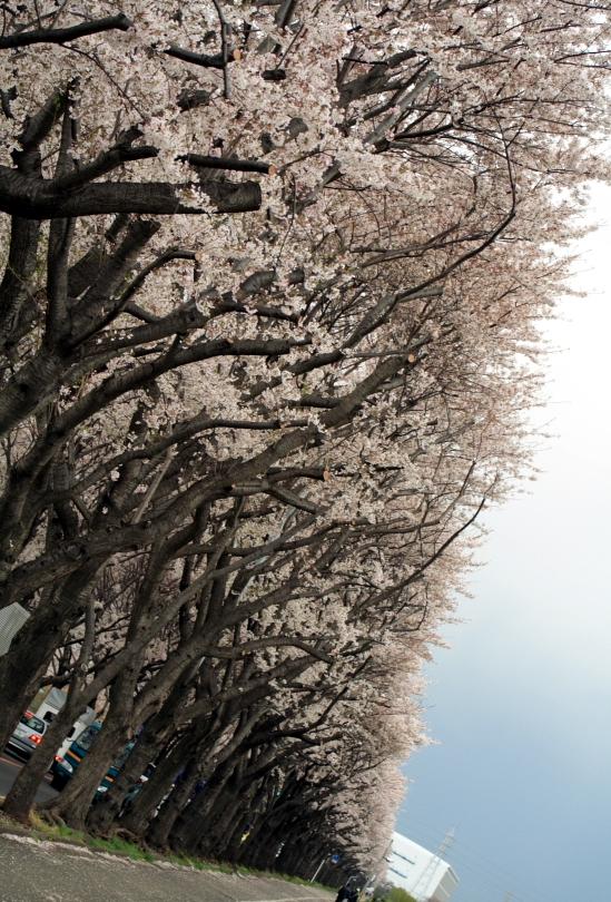 Cherry blossom_e0061613_21394418.jpg