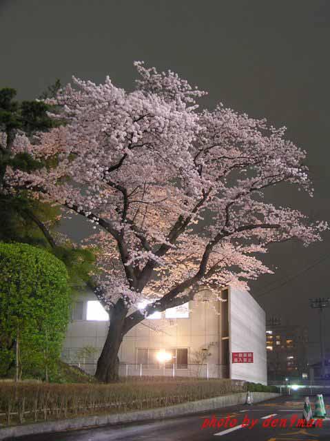 桜・・・2006_c0005717_842368.jpg