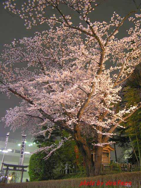 桜・・・2006_c0005717_845868.jpg