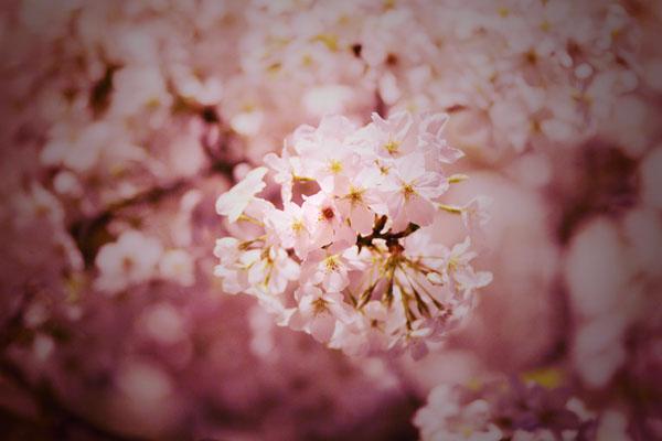 憂いの夜桜_b0081177_2242298.jpg