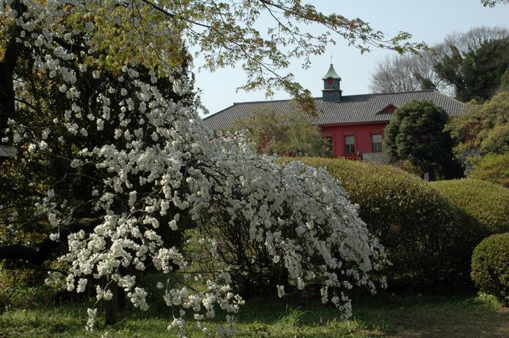 桜舞い散る小石川植物園_f0012718_22142780.jpg