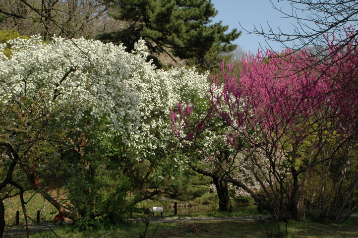 桜舞い散る小石川植物園_f0012718_2217763.jpg