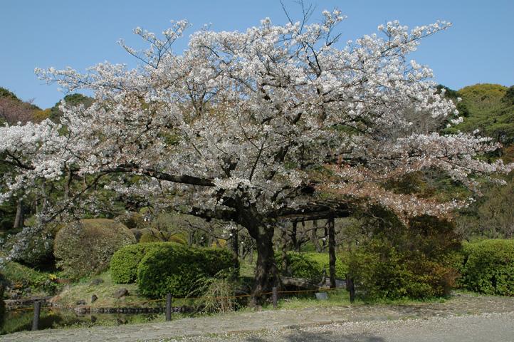 桜舞い散る小石川植物園_f0012718_22181746.jpg