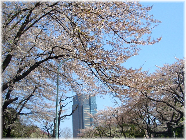 cherry blossoms in the graveyard_d0083623_20501773.jpg