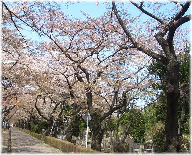 cherry blossoms in the graveyard_d0083623_2053465.jpg