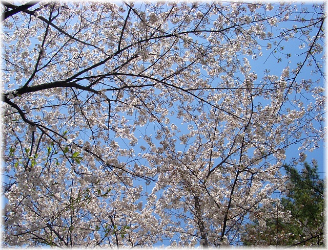 cherry blossoms in the graveyard_d0083623_212294.jpg
