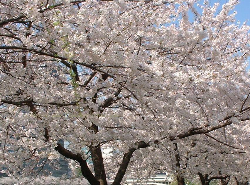 葉桜_a0042928_22455441.jpg