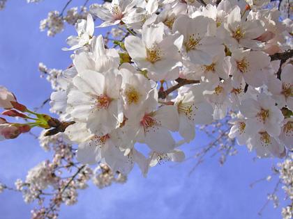 4月6日 多胡の古碑と観音山の桜_a0001354_19545883.jpg