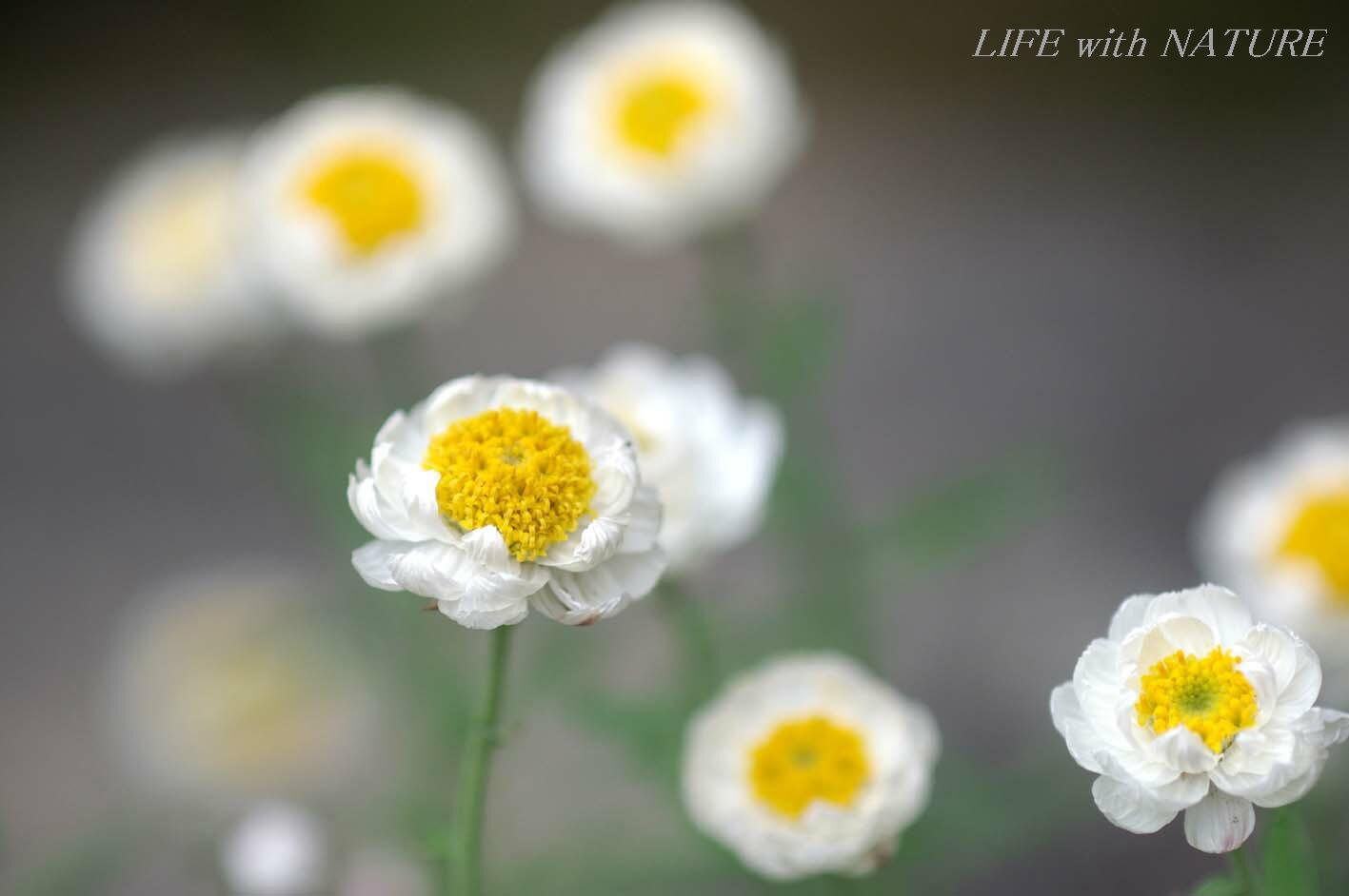 花かんざし_b0093088_14345100.jpg