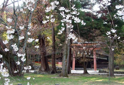 上賀茂神社 御所桜_e0048413_21581124.jpg