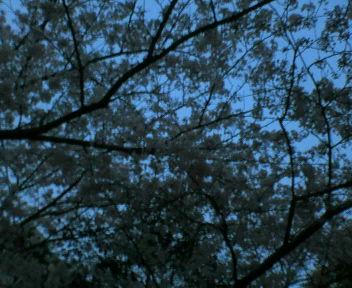 夜桜。_d0018833_1752028.jpg